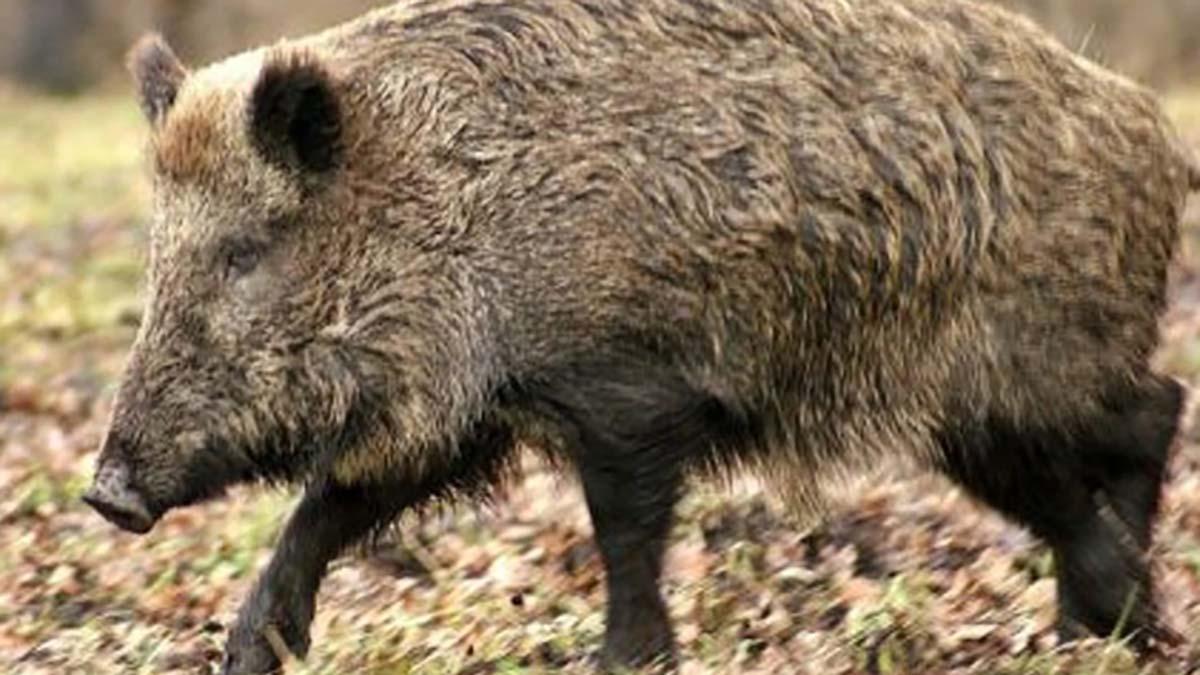 Peste porcina face ravagii in judetul Iasi! 204 porci mistreti au fost gasiti morti in ultima saptamana