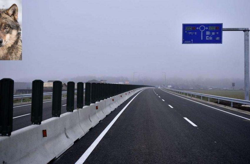 """""""Autostrada lupilor"""": A7 Bacău – Pașcani va trece prin coridorul ecologic al canis lupus – raport de mediu"""